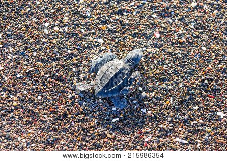 Every couple of months on Playa Ostional, Costa Rica thousands of Ridley green sea turtle hatchlings attempt to make it back to the ocean
