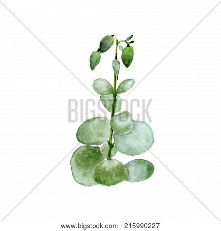 Crassula, Money Tree. Watercolor Painting Of Stem With Leaves And Flowers On White