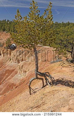 Tree Hanging on For Dear Life due to erosion in Bryce Canyon National Park in Utah