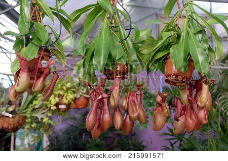 Plant with a pitcher for catching insects liana Nepenthes