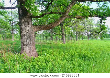 Beautiful oak savanna at Oak Ridge Forest Preserve in Illinois