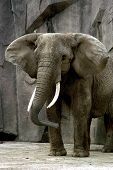 a frontal view of an elephant taken at a wisconson zoo poster