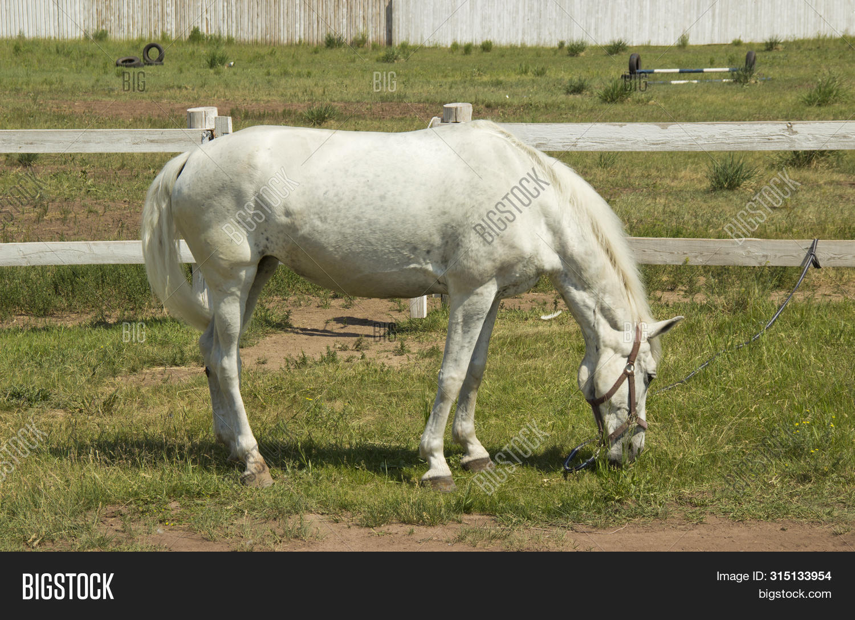 Beautiful White Horse Image Photo Free Trial Bigstock