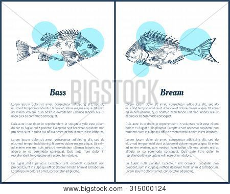 Bass And Bream Fish Posters With Headlines, Text Sample. Limbless Cold-blooded Vertebrate Animal Mon