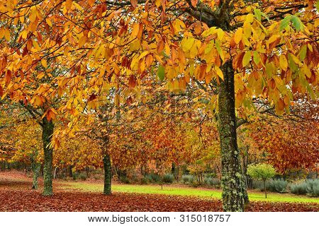Autumn; Chestnut Trees Forest, Variety Of Ocher Colors
