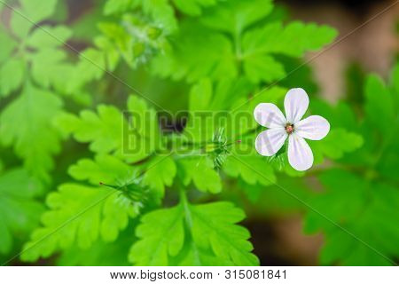 Beautiful White Wild Forest Flower. Geranium Robertianum, Or Herb-robert, Red Robin, Death Come Quic