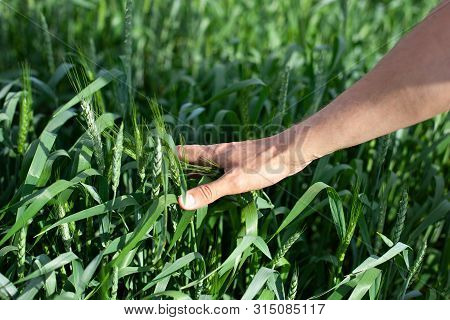 Hand Of A Farmer Touching Ripening Wheat Ears In Early Summer. Farmer Hand In Wheat Field. Agricultu