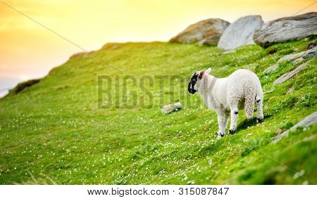 Sheep Marked With Colorful Dye Grazing In Green Pastures. Adult Sheep And Baby Lambs Feeding In Gree