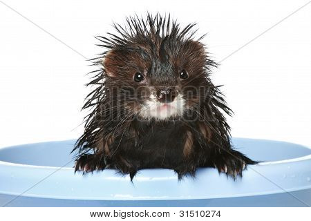 Ferret Bathed On A White Background
