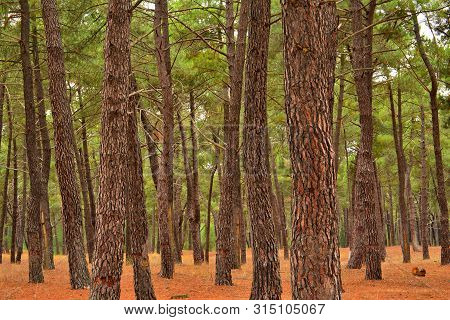 Autumn; Pine Autochthonous Forest In Monteferro, Galica, Spain