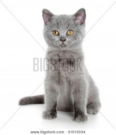 British grey kitten (3 month) on a white background poster