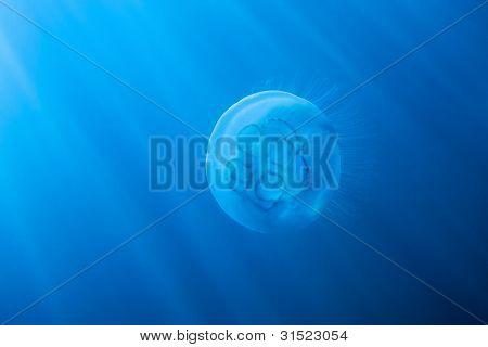 Moon Jellyfish In Sun Rays