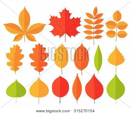 Autumn Leaf Leaves. Vector. Fall Leaves Maple, Chestnut, Oak. Set Leaves From Different Kind Of Tree
