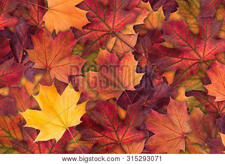 Amazing Colorful Background Of Autumn Maple Tree Leaves Background Close Up. Multicolor Maple Leaves