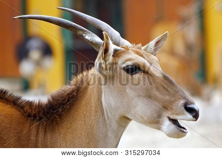 Eland Antelope (oryx Taurotragus Scientific Name) Can Grow Up To 3 M And Weighs 900 Kg. Living Up To