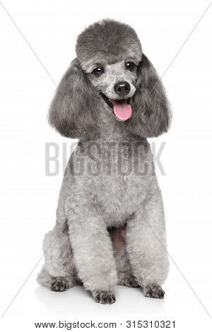 Portrait Of Happy Gray Toy Poodle Dog On White Background