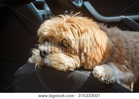 Lhasa Apso Dog Lying On The Front Seat Of A Car