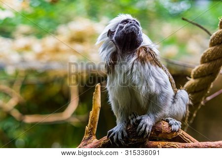 Beautiful Closeup Portrait Of A Cotton Top Tamarin Monkey, Critically Endangered Animal Specie, Trop