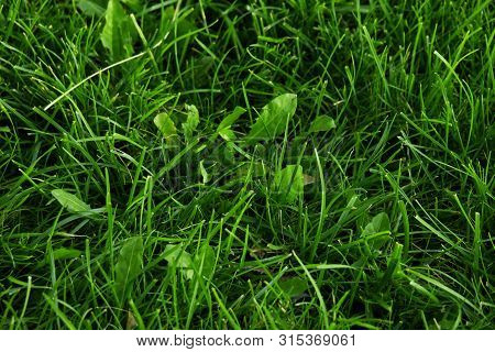 Plantain Plant With Green Leaf In The Wild Grass Plantago Major Broadleaf Plantain, White Mans Foot