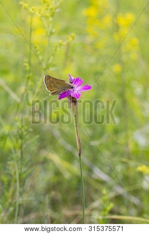 Butterfly Ochlodes Sylvanus On A Lilac Flower Of Wild Carnation Dianthus Deltoides. Flying Insect In