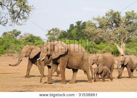 Elefanten-Herde