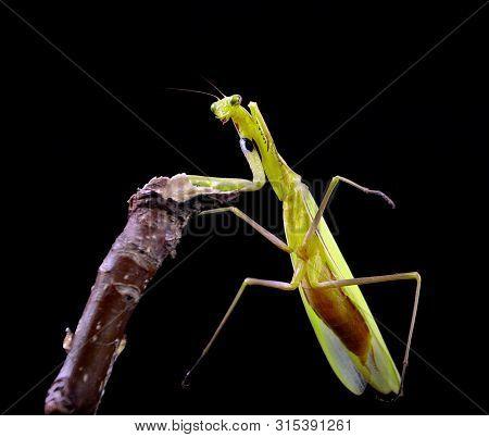 Praying Mantis Isolated On A Black. Mantis Sitting On A Branch. Praying Mantis In Natural Environmen
