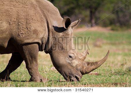 Fütterung white rhino