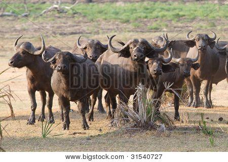 Herde von buffalo