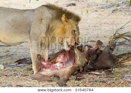Fütterung Löwe