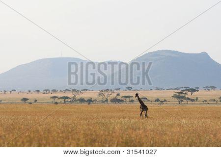 Serengeti-giraffe