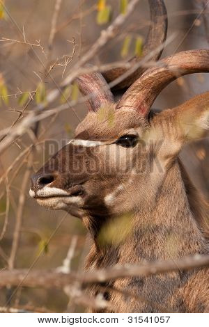 Kudu Bull Close Up