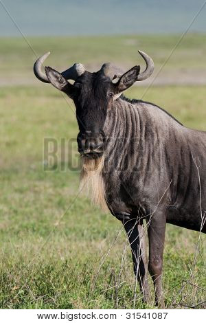 White-bearded Gnu