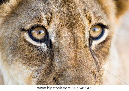 Löwe-Augen