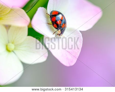 Lady Bug Resting On Pink Flowers Of Hydrangea. Close Up View, Selective Focus Image. Floral Greeting
