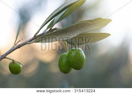 Olives On A Branch Of An Olive Tree. Detail Close-up Of Green Fruit Olives With Selective Focus And