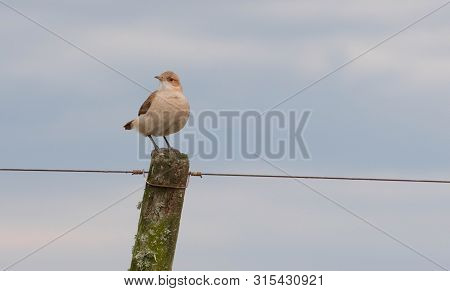 A Specimen Of The Bird Furnarius Rufus Landed On A Wire Fence. Is A Passeriform Bird Of The Family F