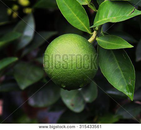 Close Up Of Malta Fruit On A Mango Tree