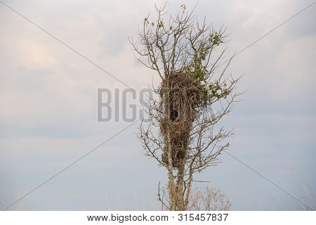 Nest Of Brejo Chopim Bird. The Bird Pseudoleistes Guirahuro Is A Passeriform Bird Of The Family Icte