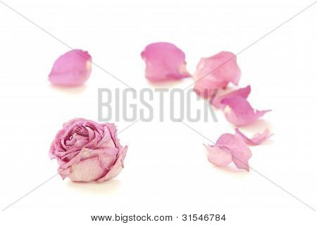Dry rose isolated on white