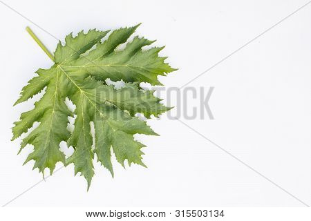 A large green compound leaf on the petiole. With recesses, veins and serrated margin. Is isolated. On a white background. poster