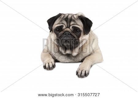 Cute Little Pug Puppy Dog, Looking Watchful Waiting, Hanging With Paws On White Banner, Isolated Fro