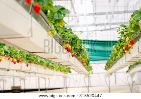 Strawberry Farm In Japan. Strawberries Flower And Strawberries Fruits On The Branch Hanging Way From