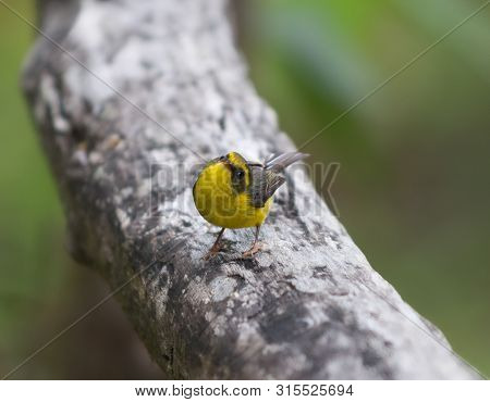 Baya Weaver, Ploceus Philippinus On A Tree Branch Looking Into The Camera