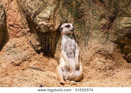 Meercat Sitting Will Watch And Looking