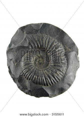 Fossilized Ammonite Shell, Saligram Stone