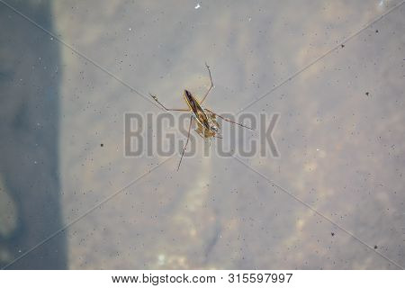 Water Strider Gerridae With Prey On The Water. The Gerridae Are A Family Of Insects In The Order Hem