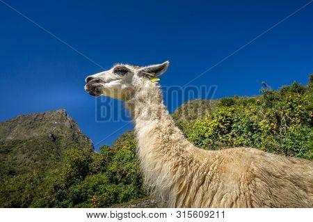 Llama Is Standing At Machu Picchu Ruins, Peru