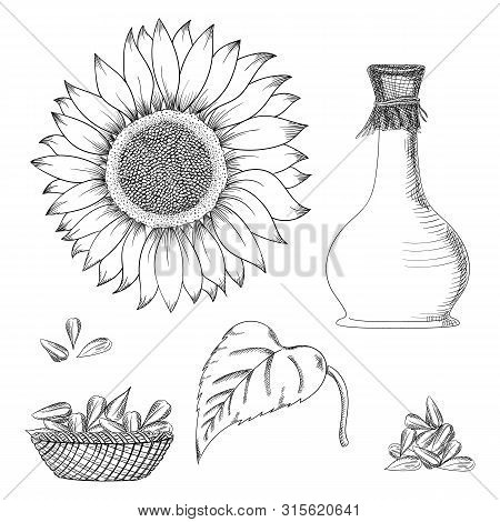 Sunflower Seed And Flower Vector Drawing Set. Hand Drawn Isolated Illustration. Food Ingredient Vint