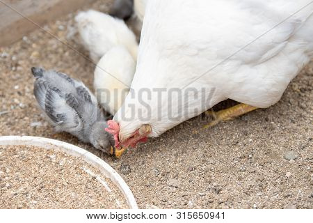 Whiite Chicken And Small Chickens Babies Close Up