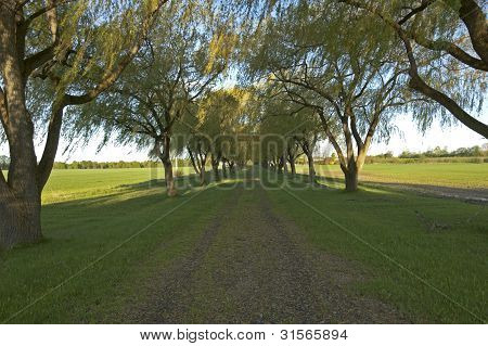picture of the green Willow tree alley poster